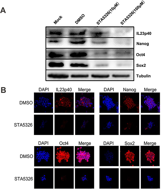 IL-23 is required for stable expression of stem cell markers in CD133+ CSLCs.