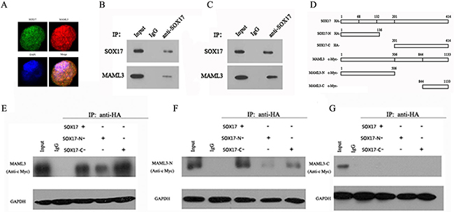 SOX17 directly interacts with MAML3.