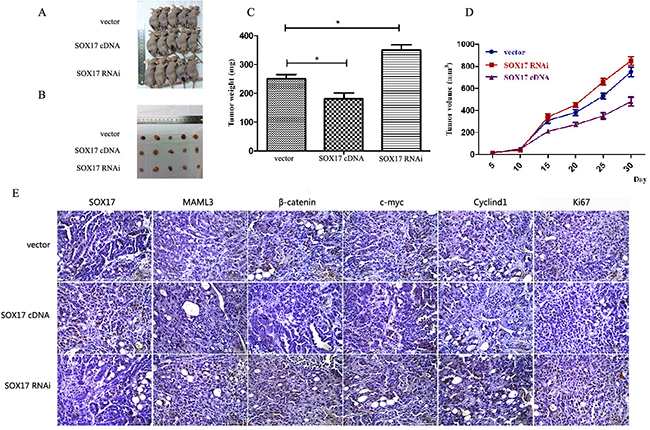 SOX17 suppressed tumor growth in vivo.