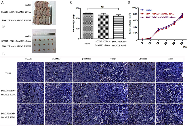 SOX17 suppressed tumor growth by downregulating MAML3 in vivo.