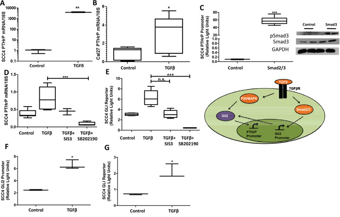 TGFβ signaling modulates Gli2 and PTHrP expression.