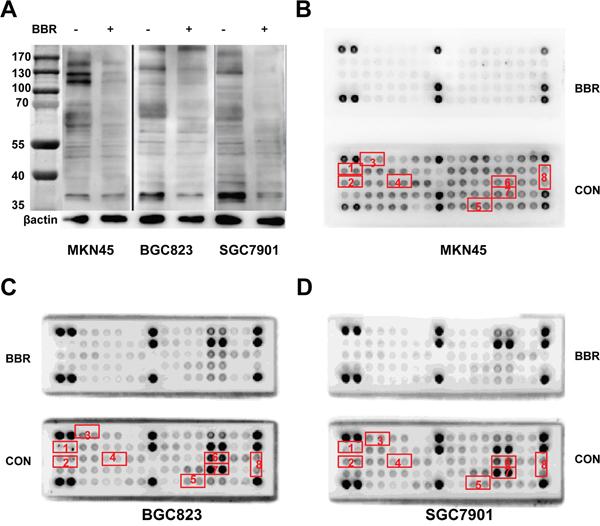 Berberine inhibits phosphorylation of receptor tyrosine kinases in GC cell lines.
