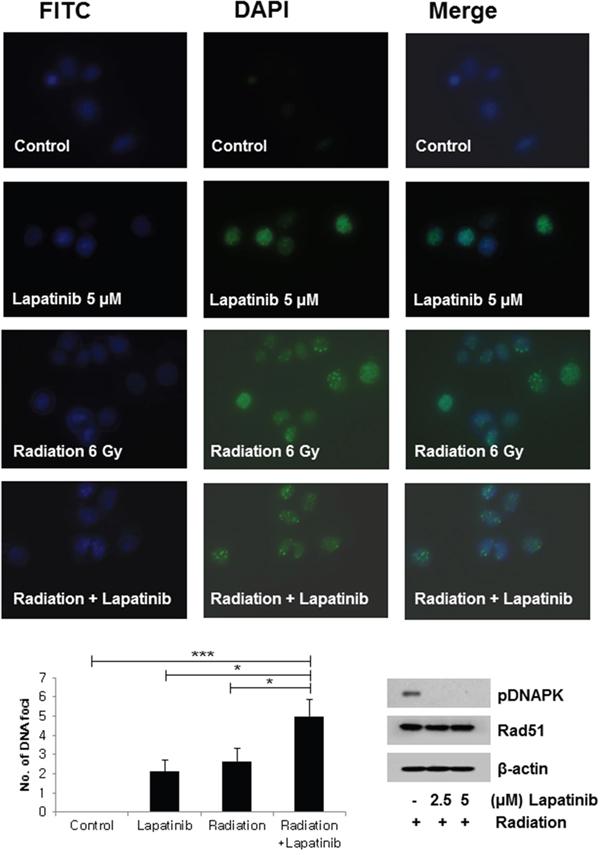 DNA damage repair: Lapatinib induced an increase in γH2AX foci.