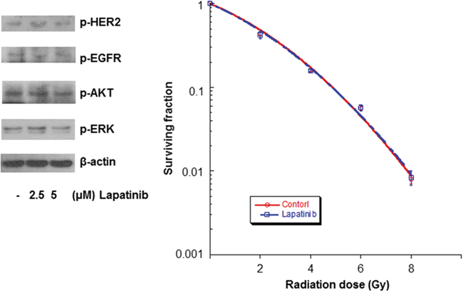 Lapatinib did not affect the radiosensitivity of MCF-7 cells.