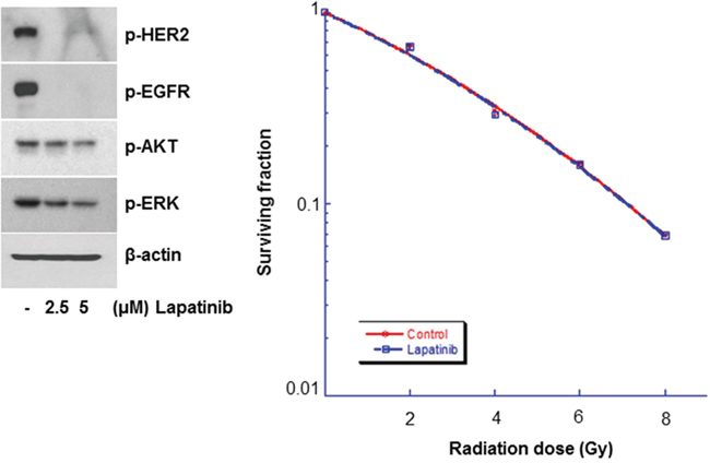 Lapatinib did not affect the radiosensitivity of normal human astrocytes (NHAs).
