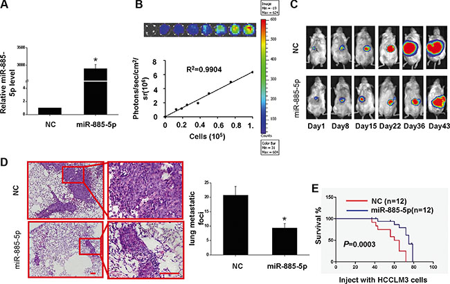 Overexpression of miR-885-5p inhibits proliferation of HCCLM3 cells in vivo and prolongs the survival of tumor-bearing Mice.