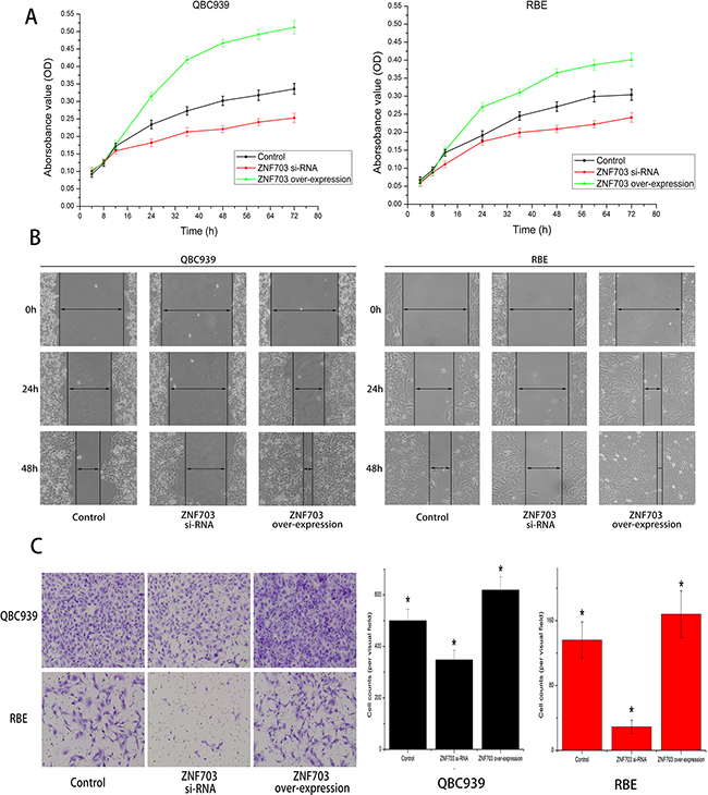 ZNF703 overexpression promotes CCA cells proliferation, migration and invasion in vitro.