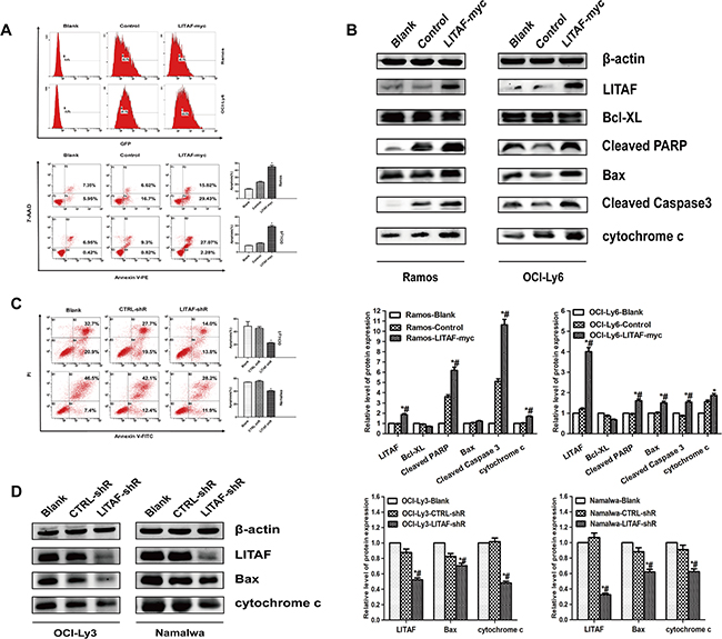The function of LITAF involved in regulating apoptosis in B-NHL cells.
