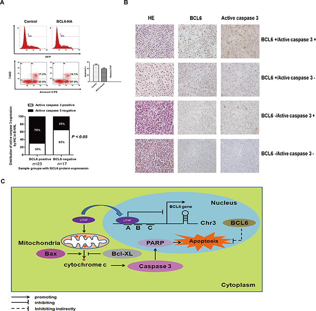BCL6 inhibit cell apoptosis mediated by LITAF in B-NHL.