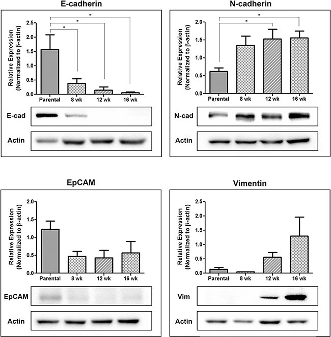 Circulating tumor cells acquire a more mesenchymal phenotype during disease progression.
