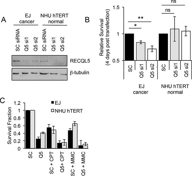 Depletion of RECQL5 reduces survival in bladder cancer cells.