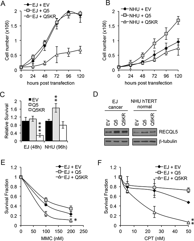 Exogenous expression of RECQL5β increases proliferation in normal bladder cells and expression of helicase dead RECQL5.