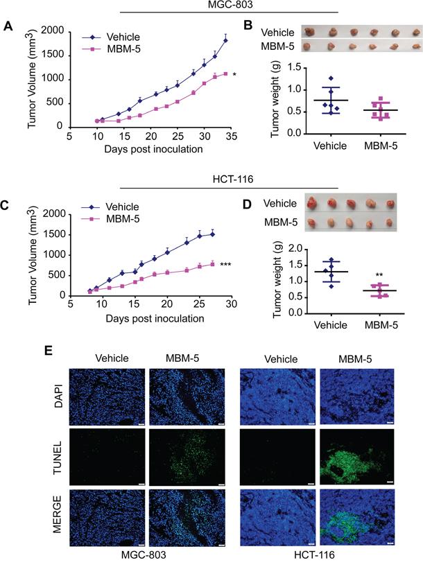 MBM-5 retards tumor growth in vivo.