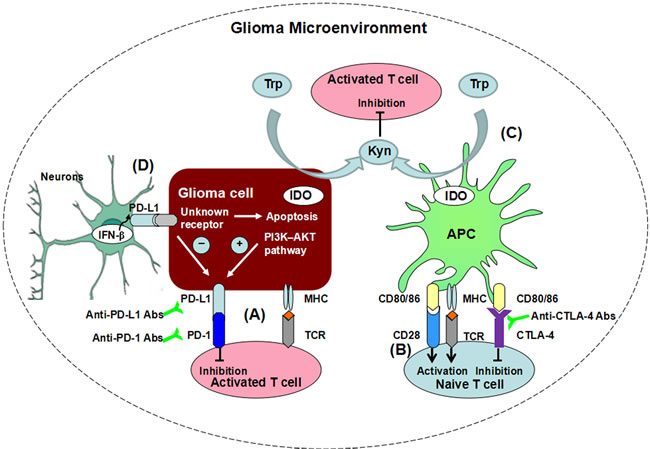 Immune checkpoints suppress T cell function in glioma microenvironment through differential mechanisms.