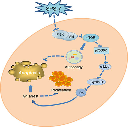 Schematic figure for SPS-7-mediated signaling pathways on the inhibition of cell proliferation and apoptosis induction.