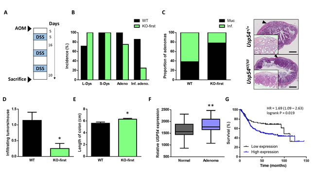 USP54 deficiency prevents azoxymethane-induced infiltrating colon tumors.