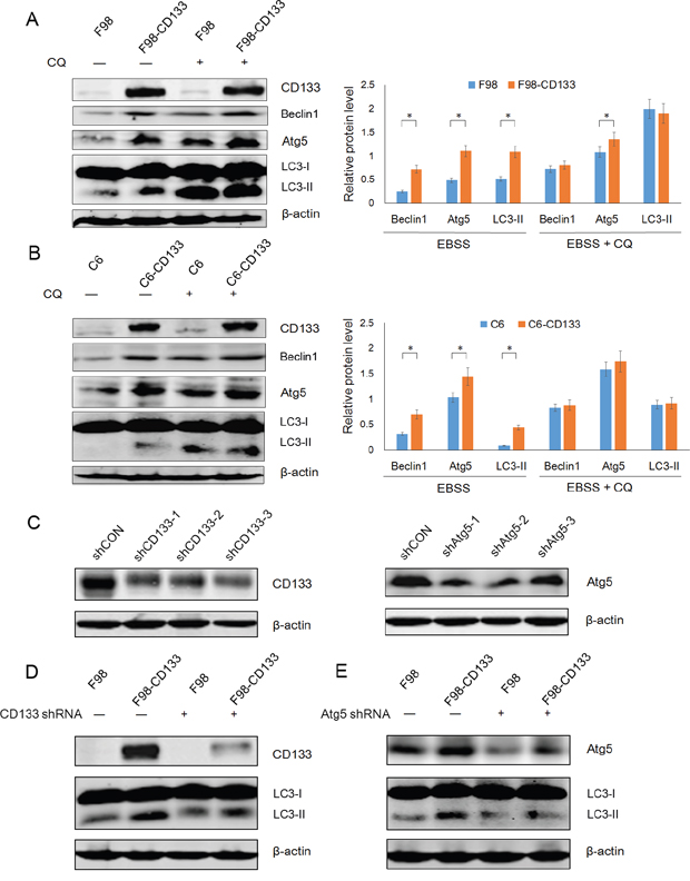 CD133-mediated autophagy is directly dependent on autophagy-associated genes.