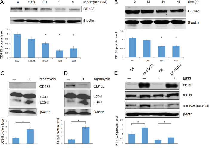 Rapamycin down-regulates CD133 expression and up-regulates LC3-II expression in glioma cells.