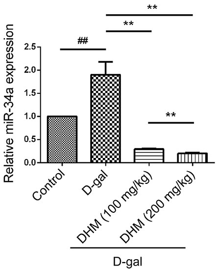 The miR-34a was activated in hippocampus tissue in D-gal-induced aging rats.