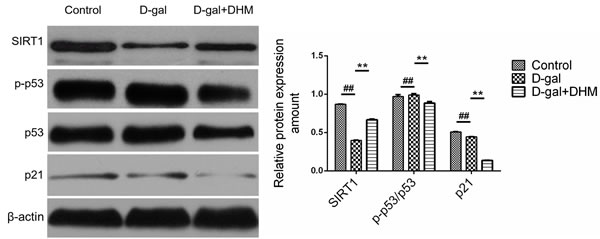The effect of DHM on SIRT1/p53 signaling in hippocampus tissue of D-gal-induced aging rats.