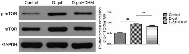 DHM inhibited mTOR activation in hippocampus tissue of D-gal-induced aging rats through the evaluation by Western blot using p-mTOR and mTOR antibodies.