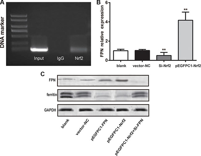 Nrf2 promoted the expression of FPN and decreased ferritin expression.