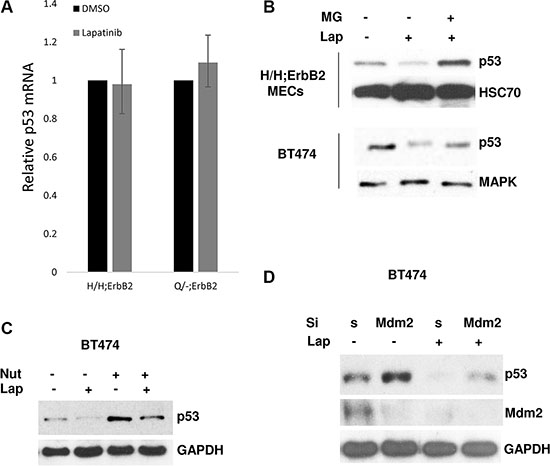 Lapatinib promotes degradation of mup53 protein.