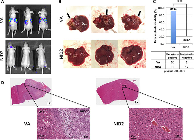 NID2 significantly suppresses cancer metastasis in vivo.