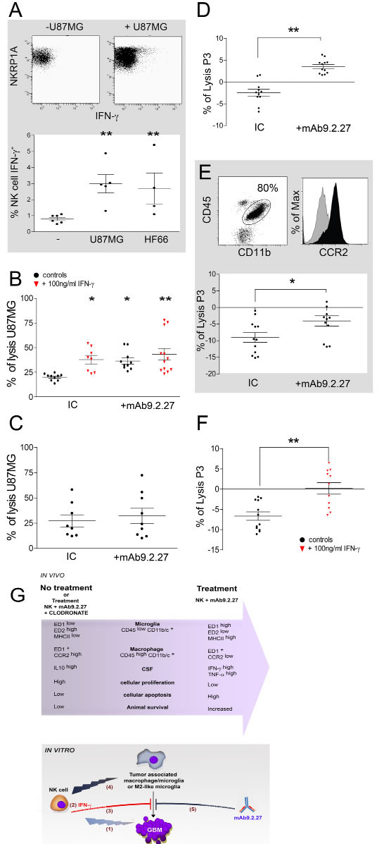 IFN-γ and mAb9.2.27 increase cytotoxicity of microglia against GBM.