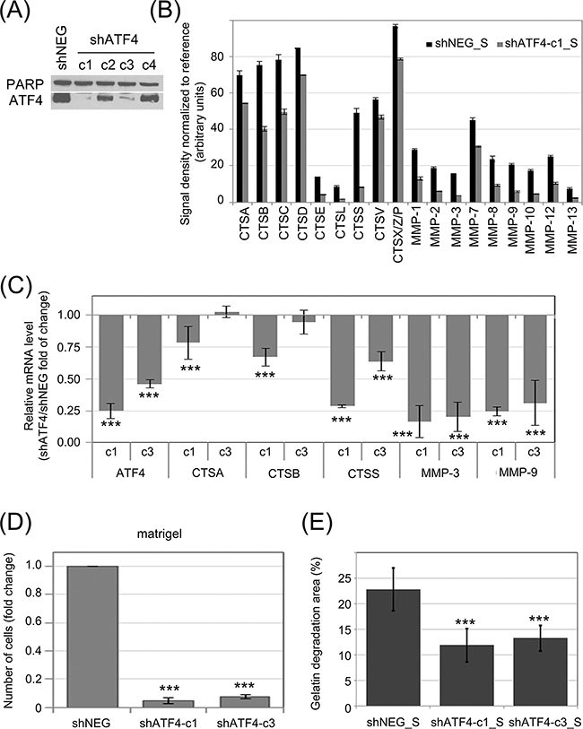 Influence of ATF4 on protease secretion and invasive potential of CML cells and stromal fibroblasts.