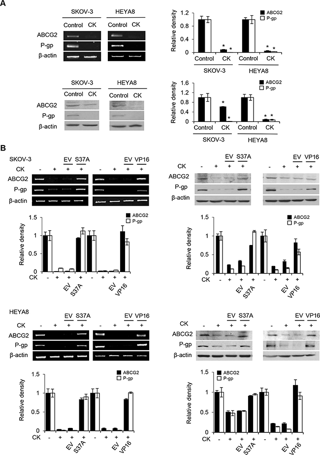 β-catenin activation induces ABCG2 and P-glycoprotein expression.