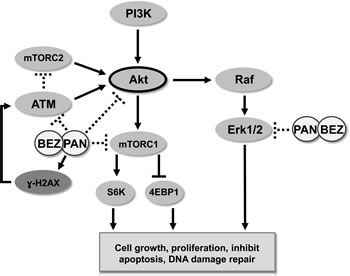 Schematic representation of activity of BEZ235/panobinostat combination against PC3 and PC3-AR tumor models.