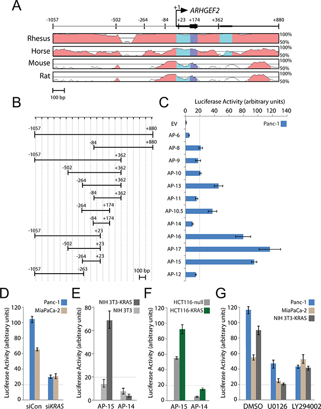 A highly conserved minimal promoter at the ARHGEF2 transcription start site drives luciferase expression.