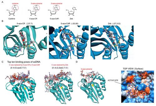 Molecular docking of DNMT inhibitors to AID.