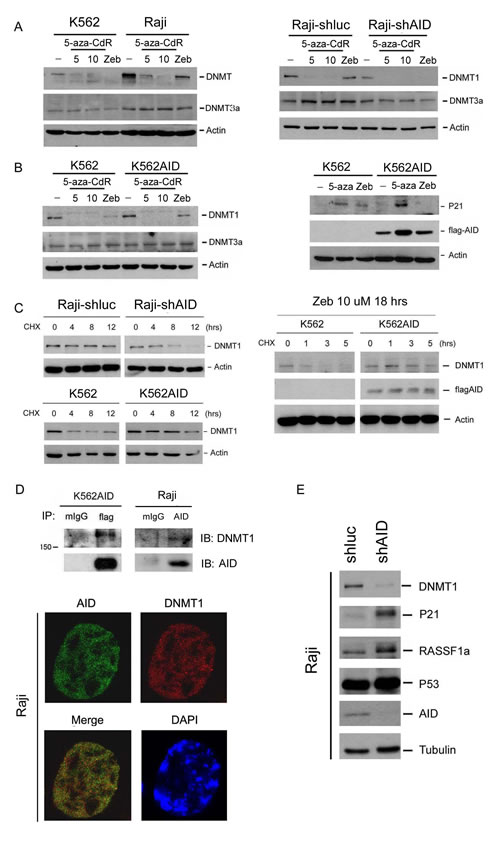 AID blocks DNMT inhibitor-induced degradation of DNMT1 and expression of TSG.s.
