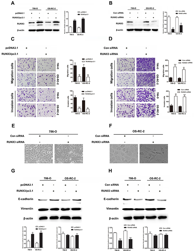 RUNX3 negatively regulates renal carcinoma cell motility and activates E-cadherin expression.