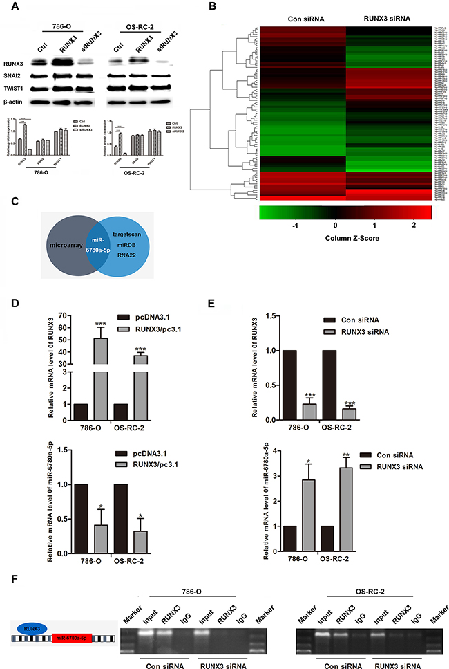 RUNX3 negatively regulated miR-6780a-5p expression in renal carcinoma cells.