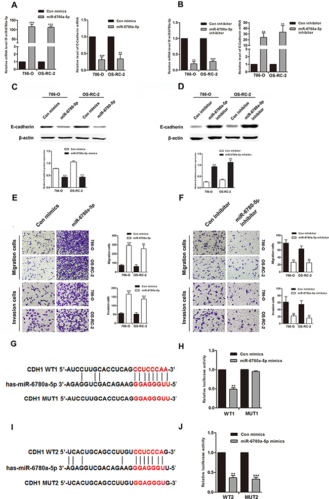 MiR-6780a-5p downregulated E-cadherin expression by directly targeting its 3'-UTR.