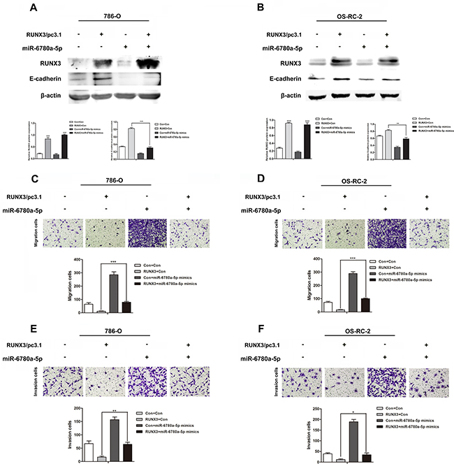 MiR-6780a-5p mimics abrogated RUNX3-mediated E-cadherin upregulation and RCC metastasis inhibition.