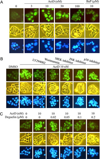 Actinomycin D (ActD)-induced p53 expression as revealed by immunofluorescence imaging.
