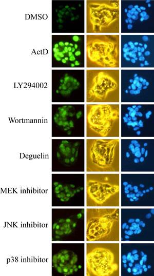 Effects of kinase inhibitors on p53 expression as revealed by immunofluorescence imaging.