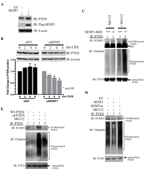 SENP1 regulates PTEN ubiquitylation to enhance protein stability.