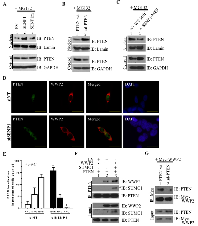 PTEN's subcellular localization and association with the ubiquitin ligase WWP2 is directed by SENP1