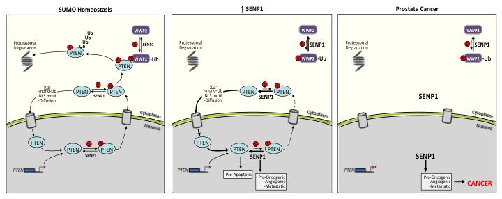 Schematic of the SENP1-regulated PTEN expression under normal SUMO homeostatic conditions