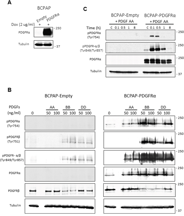 Inducible expression of PDGFRα in PTC cells and specificity of receptor activation.