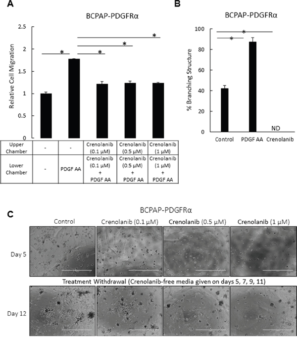 Inhibition of PDGFRα activation impedes cell migration in PTC cells and abrogates the transforming effect of PDGFRα on the 3D architecture.