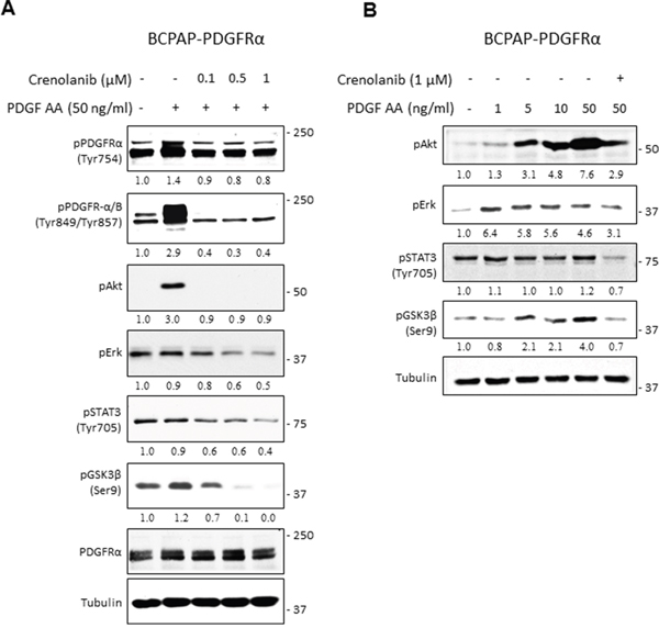 PDGFRα signaling and its downstream effector pathways in PTC cells.