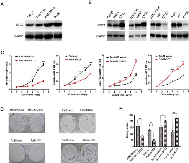 STC2 promotes HNSCC cell proliferation in vitro.