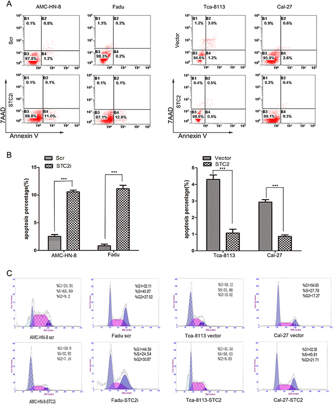 STC2 suppresses cell apoptosis.