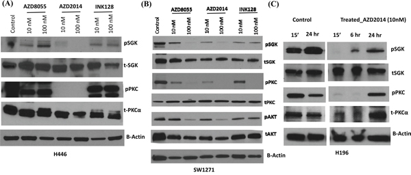 Effect of mTORC inhibitors on downstream signaling in SCLC cells with RICTOR CN gain.